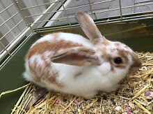 Purebred Netherland rabbit for sale Klemzig Port Adelaide Area Preview
