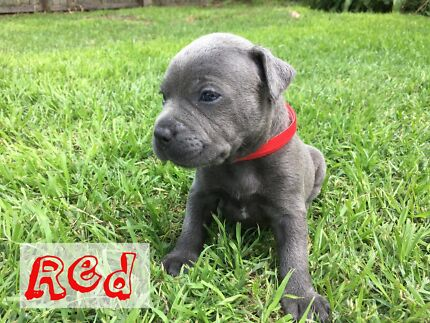 Blue English Staffordshire Puppies Pups