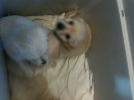 POMERANIAN X CHIHUAHUA PUPPIES Oakleigh East Monash Area Preview