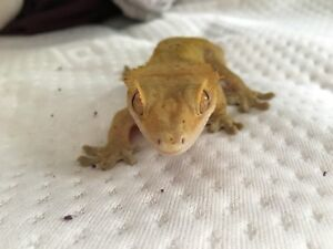 Male crested gecko