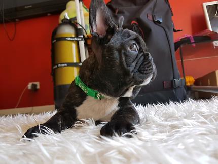 French Bulldog Male Puppy