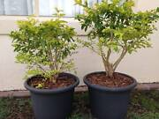 Pair of Plants in 28cm tall Pots Robina Gold Coast South Preview