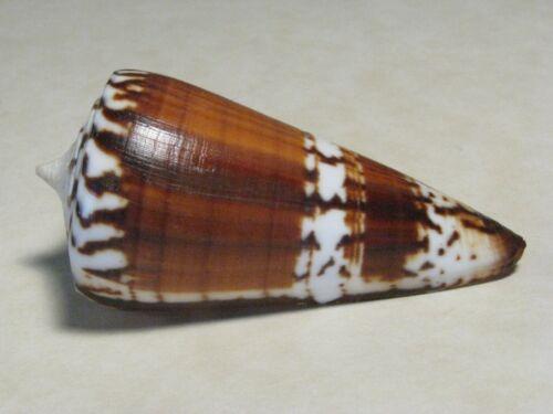 "Conus generalis LINNAEUS,1758 ""BEAUTIFUL COLORS!""  (67.2mm)"