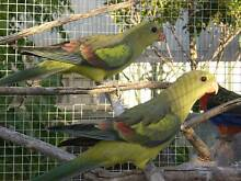 Regent Parrots Aldinga Beach Morphett Vale Area Preview