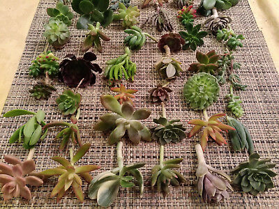 60 SUCCULENT CUTTINGS / 20 DIFFERENT VARIETALS! GREAT FOR WEDDING PARTY FAVORS!