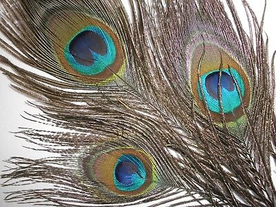 10 Peacock Feathers   Quick Ship From California