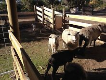 5 x Leicester cross sheep Cambridge Clarence Area Preview