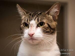 AC0524 : Bo - CAT for ADOPTION - Vet Work Included Forrestfield Kalamunda Area Preview