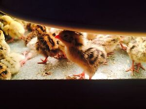 4 days to 1 week old  Jumbo jap quails $3 each Redbank Ipswich City Preview