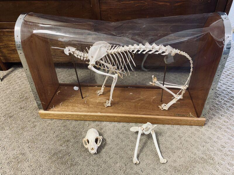 Cat Skeleton, Feline, Prop Decoration Anatomical In Display Case