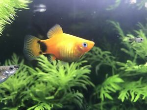 Platy and Guppy Fry