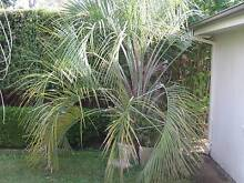 Palm tree free Oatley Hurstville Area Preview