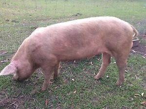 Large white boar for sale Lanitza Clarence Valley Preview