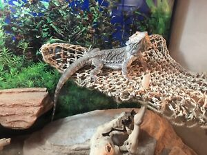 Bearded dragon tank and stand