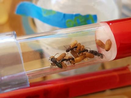 Ant queen (Duel queen) Rhytidoponera Metallica