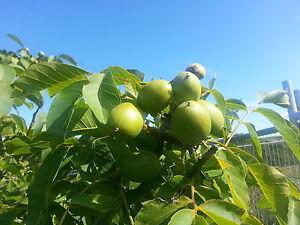 English Walnut Fruit Tree 2-3ft Tall, In 2L Pot, Healthy Nuts, Juglans Regia