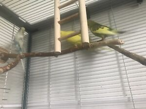 3 budgies and large cage