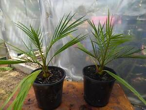 Canary Island Date Palm Tree Edithvale Kingston Area Preview