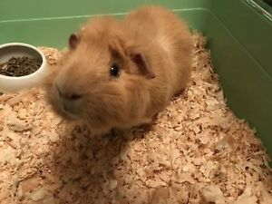 Guinea Pigs need a new home - FREE