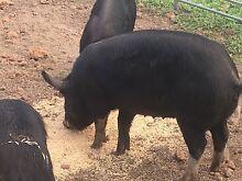 Berkshire pigs Darkan West Arthur Area Preview