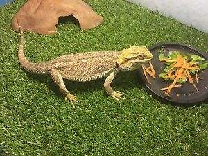 Female lizard with tank Adelaide CBD Adelaide City Preview