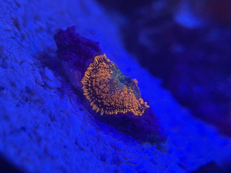 WWC Orange Crush Rhodactis Mushroom Coral, Shroom, WYSIWYG