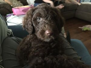 Standard Poodle Puppies - 2 boys 1 girl Available Now