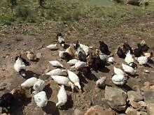 Pekin ducks x 10 Margate Kingborough Area Preview