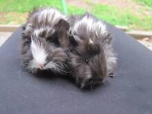 3 adorable male baby guinea pigs,hand raised and very docile. Terrigal Gosford Area Preview