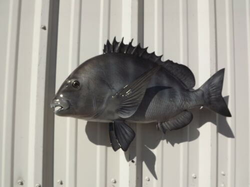 """23"""" Sheepshead Two Sided Fish Mount Replica - 10 Business Day Production Time"""