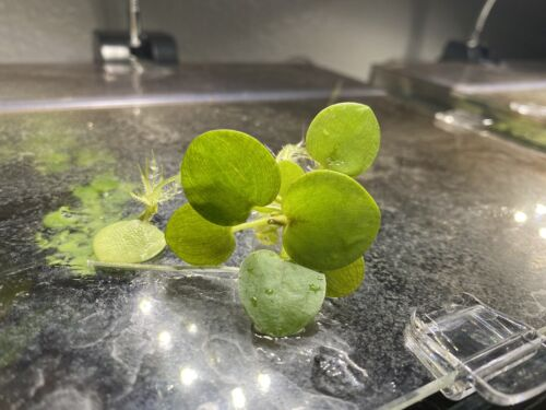Live Floating Plant Combo 10 Amazon Frogbit 10 Water Spangles Salvinia Minima  - $14.49