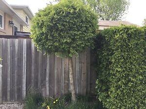 Free Cedar Trees for Mulch