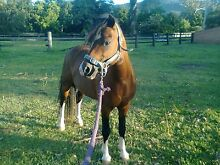 Bomb Proof Welsh Mountain Pony Laidley Lockyer Valley Preview