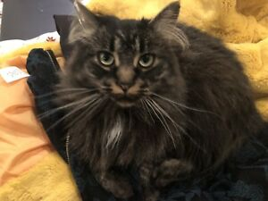 FOUND - female adult cat in East Abbotsford