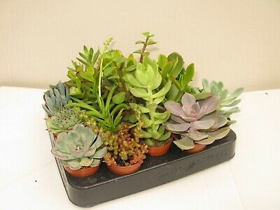 Wedding Favours/Gifts 75 x Mixed Succulent Plants In 5.5cm Pots