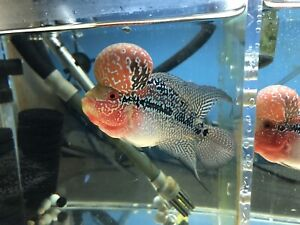 Flowerhorn | Kijiji in Edmonton Area  - Buy, Sell & Save with