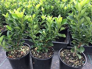 Hedge Plant Raphiolepis indica 'Snow Maiden' Indian Hawthorn Leppington Camden Area Preview
