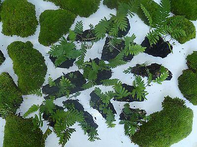3  RESURRECTION FERN BARK Garden Plant TerrariumDart Frog VIVARIUM