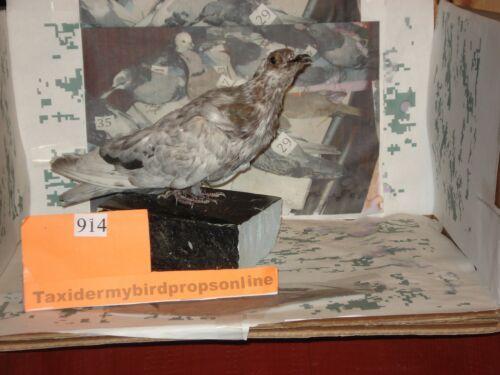 Taxidermy bird pigeon prop  #914