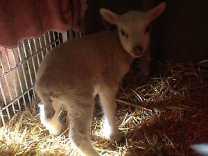 Bottle ewe lamb