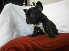 French Bulldog Puppies Nowra Nowra-Bomaderry Preview