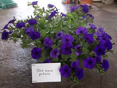 6 spreading petunia seeds WAVE BLUE The best for baskets, perfect as
