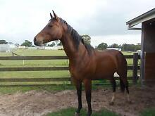 Quarter horse filly by DMB Innovator Werombi Wollondilly Area Preview