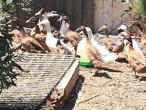 Ducks for sale Geelong Geelong City Preview