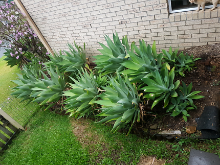 AGAVES! 10 + really healthy!