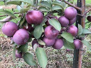 Different varieties apples for sale