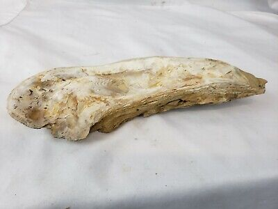 Large unusual fossil ? #1