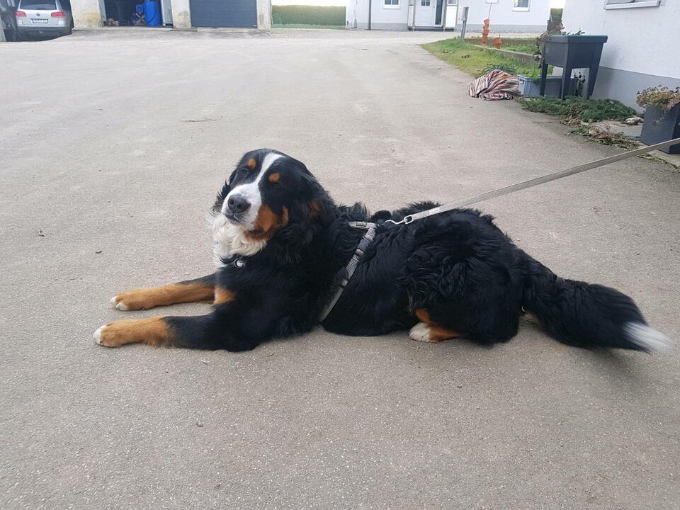 Berner Sennenhund vermisst 800€ BELOHNUNG in Bad Wurzach