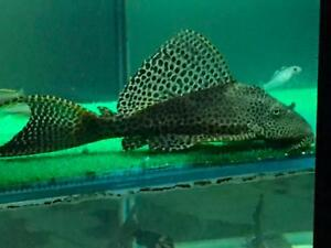 Superior Plecos And Feeder Fish For Sale