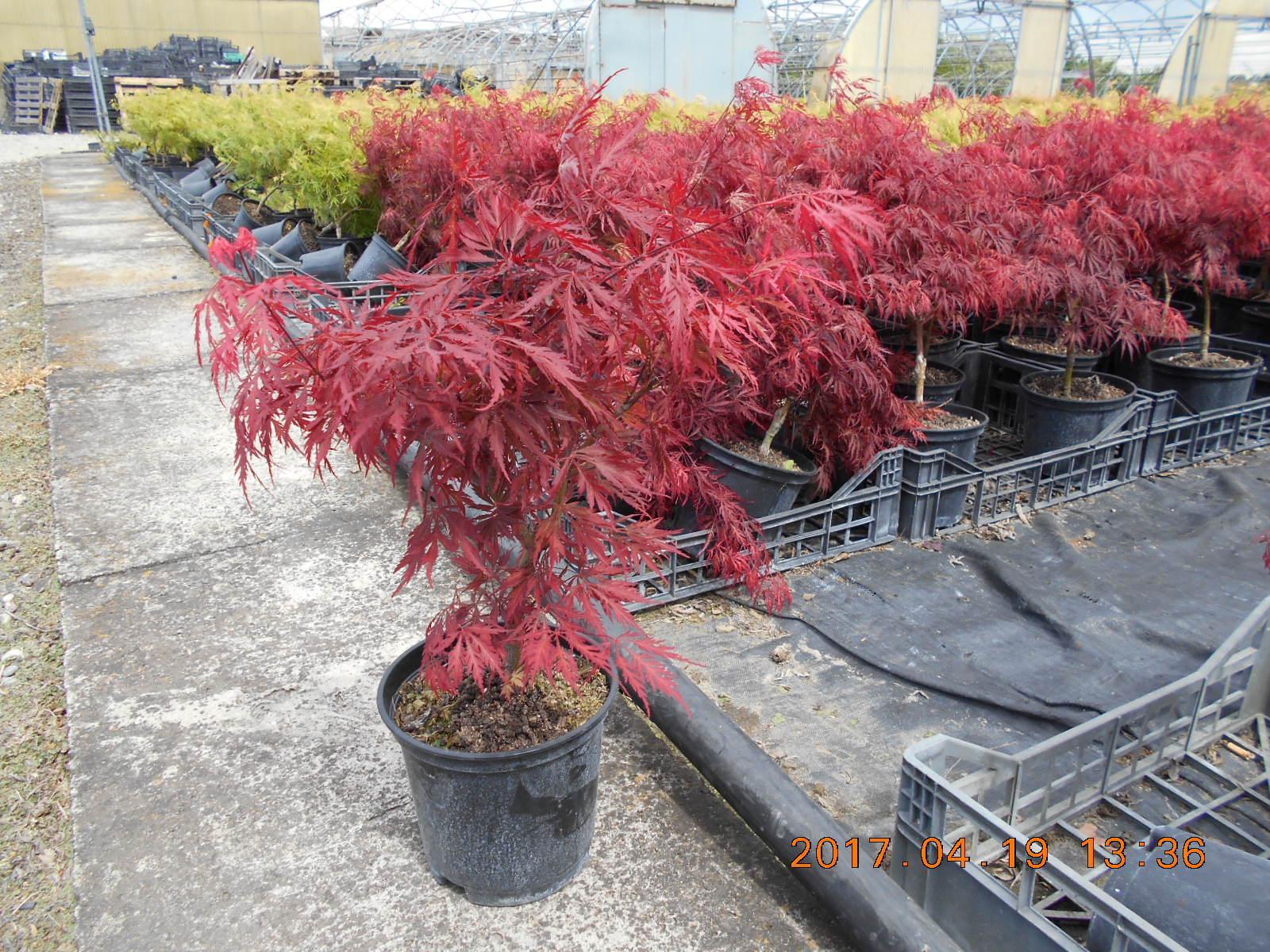 Acero rosso giapponese acer palmatum dissectum crimson for Acero rosso giapponese